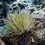 Koralle_Tauchen1