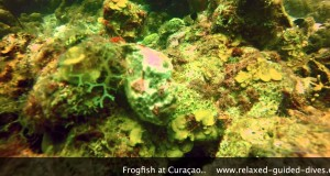 Longlure Frogfish on Curaçao, the most common seen frogfish in the Caribbean